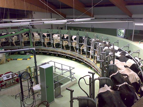 Intérieure d'un élevage de vaches laitières
